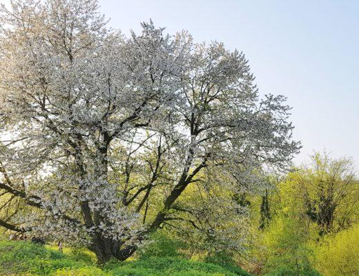 Il ciliegio più grande d'Italia
