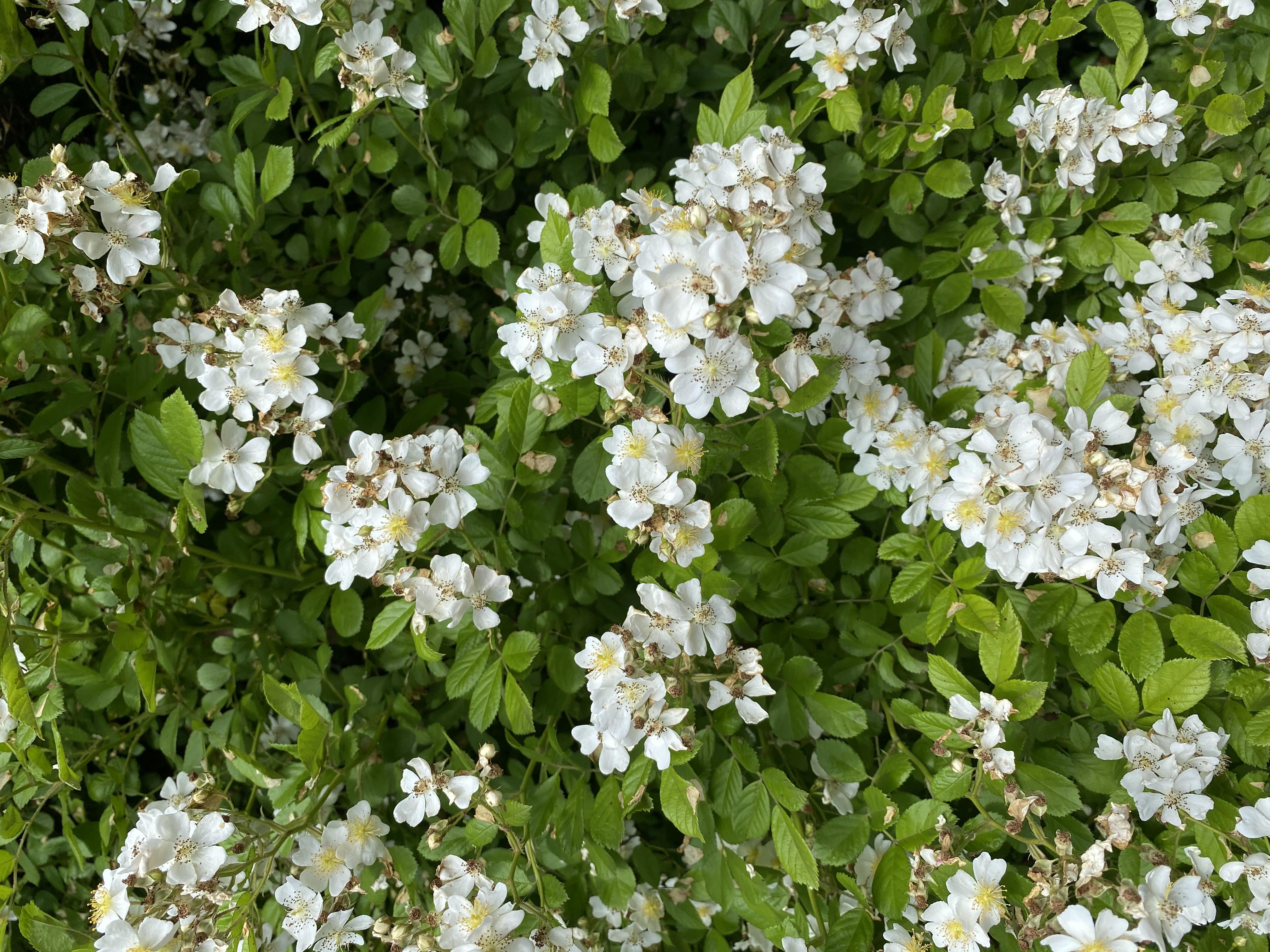 Giardini Visconte Rosa Canina