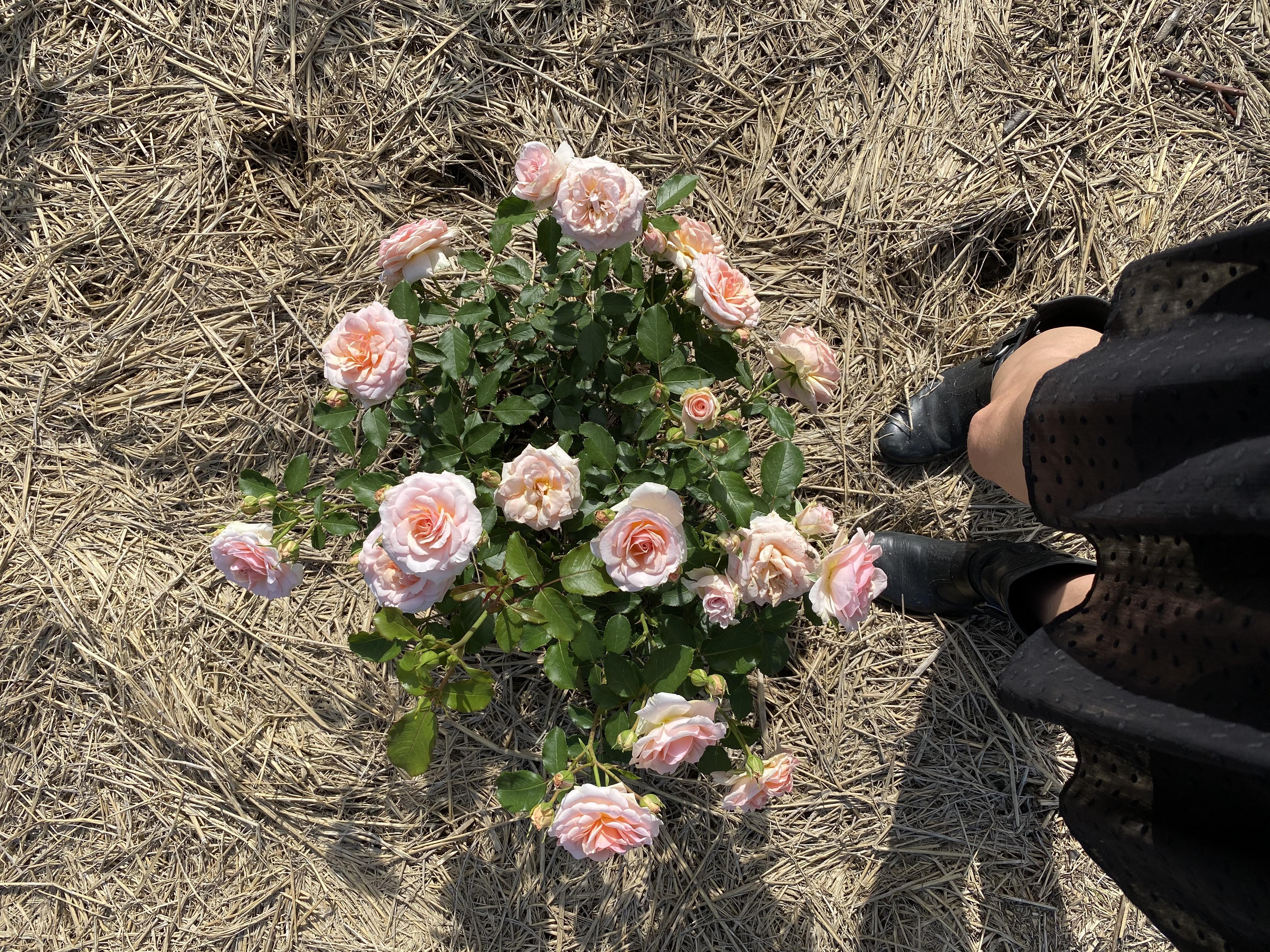 Rose e gambe